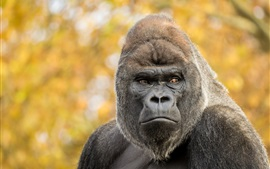 Gorilla, monkey, bokeh