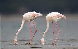 Preview wallpaper Greater flamingo, two birds, water