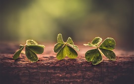 Trevos verdes, gotas de água, bokeh