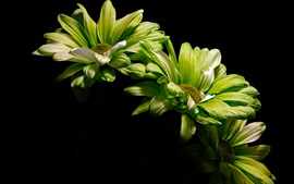 Preview wallpaper Green flowers, black background