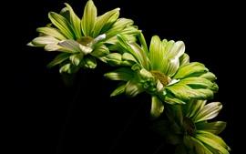 壁紙のプレビュー 緑色の花、黒い背景