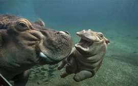 Hippos play in water