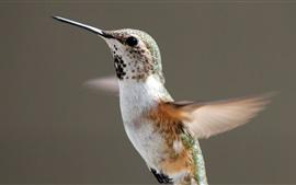Aperçu fond d'écran Vol de colibri, ailes