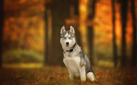 Husky dog sit on ground, autumn