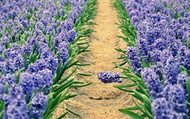 Hyacinths, blue flowers field