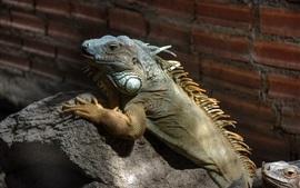 Escalada de iguana