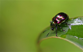 Preview wallpaper Insect, beetle, wet green leaf