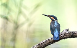 Martim-pescador, pássaros, árvore, fundo desfocado