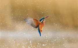 Kingfisher flight, water drops, splash