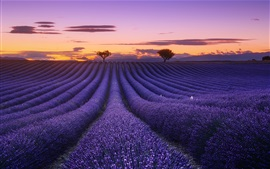 Preview wallpaper Lavender field, flowers, trees, sunset