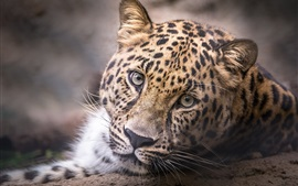 Preview wallpaper Leopard, head, face, portrait