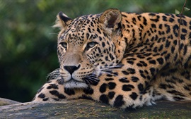 Preview wallpaper Leopard, wildlife, paw