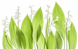 Preview wallpaper Lilies of the valley, green leaves, white background