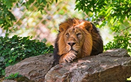 Preview wallpaper Lion rest, rocks, leaves, zoo