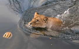 Preview wallpaper Lioness swim in water