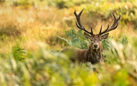 Preview wallpaper London, Richmond Park, red deer, horns, bushes