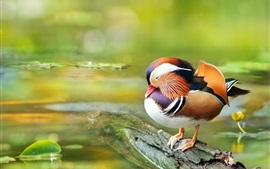 Preview wallpaper Mandarin duck, rest, water