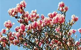 Many magnolia flowers bloom, spring