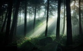 Matlock, UK, pinewoods, trees, sun rays