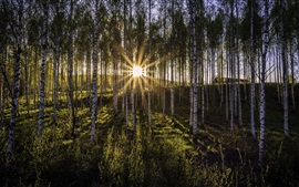 Preview wallpaper Morning, birch forest, sun rays, glare