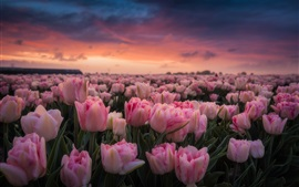 Netherlands, lot of pink tulips, morning, flowers field, sunrise