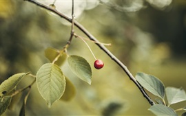 One cherry, twigs, leaves