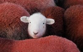 Aperçu fond d'écran Un mouton blanc
