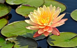 Preview wallpaper Orange petals water lily, flower, leaves, pond