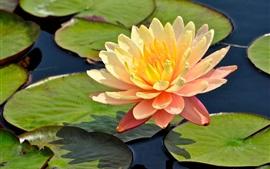 Pétalas de laranja lírio-d'água, flor, folhas, lagoa