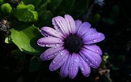 Osteospermum, pétalos de color púrpura, gotas de agua