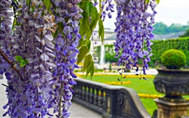 Preview wallpaper Park flowers, wisteria