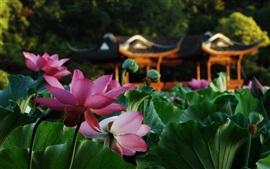 Парк, лотос, розовые цветы, зеленые листья