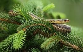 壁紙のプレビュー 松の小枝、ヘビ
