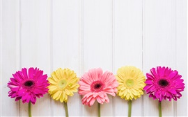 Pink and yellow chrysanthemum, white wood background