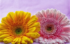 Preview wallpaper Pink and yellow gerbera flowers