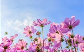 Розовый космос цветы, лето, голубое небо