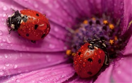 Preview wallpaper Pink flower petals, two red ladybugs, water drops