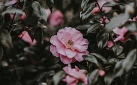 壁紙のプレビュー ピンクの花、野生の花