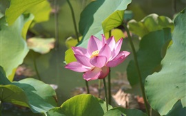Розовый лотос, солнечный свет