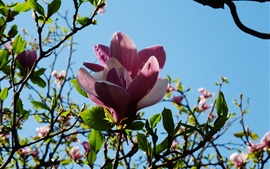 Preview wallpaper Pink magnolia flowers, twigs, blue sky