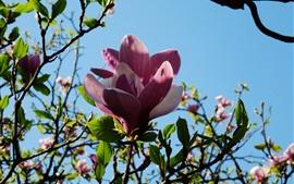 壁紙のプレビュー ピンクのマグノリアの花、小枝、青空