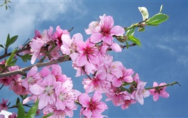 Preview wallpaper Pink peach flowers bloom, spring, blue sky