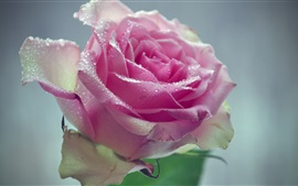 Preview wallpaper Pink rose, flower, water drops