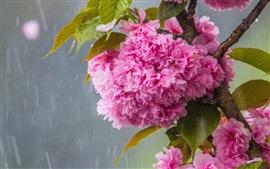 Pink sakura flowering, rain