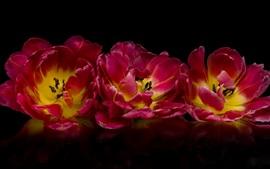 미리보기 배경 화면 핑크 튤립 근접 촬영, 검은 배경