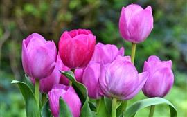 Pink tulips, garden, spring