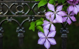 Preview wallpaper Purple clematis flowers, blurry background