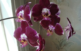 Purple orchid, flowers