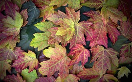 Preview wallpaper Purple red maple leaves, autumn