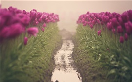 Purple tulips, flowers field, water, channel